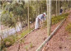 親竹の伐採